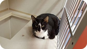Domestic Shorthair Cat for adoption in Indianola, Iowa - Kittens/cats