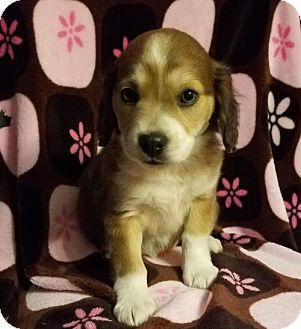 Labrador Retriever Mix Puppy for adoption in Elkton, Maryland - Violet