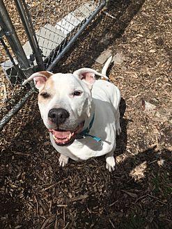 American Staffordshire Terrier Dog for adoption in Goshen, New York - Punch