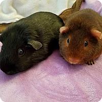 Adopt A Pet :: Gemini & Nutmeg - Grand Rapids, MI
