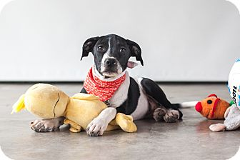 Labrador Retriever Mix Puppy for adoption in Victoria, British Columbia - Dahlia
