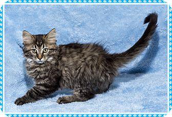 Domestic Mediumhair Kitten for adoption in Mt. Prospect, Illinois - ToTo