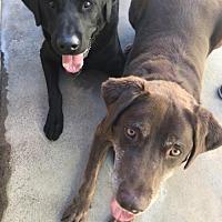 Labrador Retriever Dog for adoption in Los Banos, California - Blacky and Brownie