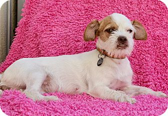 Terrier (Unknown Type, Small) Mix Puppy for adoption in Los Angeles, California - Lorna Doone