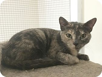 Calico Cat for adoption in Stevensville, Maryland - Lagatha
