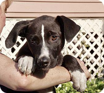 Labrador Retriever Mix Puppy for adoption in Media, Pennsylvania - AVALON of The Jersey Shore Pu