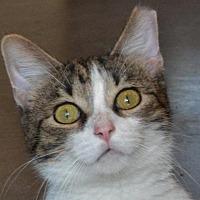Adopt A Pet :: Bob Dylan - Cincinnati, OH