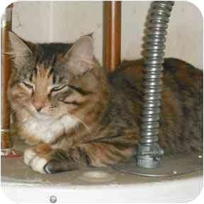 Calico Cat for adoption in Haughton, Louisiana - Coco