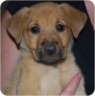 Border Collie/Shepherd (Unknown Type) Mix Puppy for adoption in Las Vegas, Nevada - Cricket