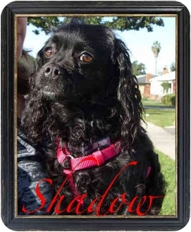 Cavalier King Charles Spaniel/Cocker Spaniel Mix Dog for adoption in Orange, California - Shadow