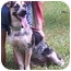 Photo 2 - Australian Cattle Dog Mix Dog for adoption in Little River, South Carolina - Moon