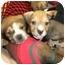 Photo 2 - Boxer/Labrador Retriever Mix Puppy for adoption in Detroit, Michigan - Hugo-Adopted
