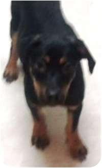 Rottweiler Mix Puppy for adoption in Oswego, Illinois - Desi