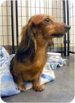 Dachshund Dog for adoption in Hastings, Nebraska - Delilah