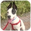 Photo 1 - American Staffordshire Terrier Mix Puppy for adoption in Park Ridge, New Jersey - Bruno