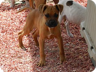 Boxer/Pit Bull Terrier Mix Puppy for adoption in Lawrenceburg, Tennessee - Chelsea