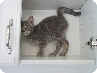 Domestic Shorthair Kitten for adoption in Bradenton, Florida - Squeaker