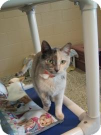 Domestic Shorthair Cat for adoption in Jackson, Michigan - Puzzle