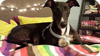 Greyhound Dog for adoption in Dublin, Ohio - Jet Black Sweetie