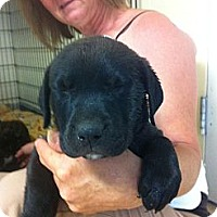 Adopt A Pet :: Ransom - El Paso, TX