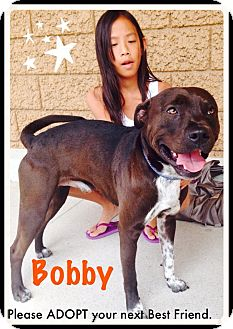 American Staffordshire Terrier/Labrador Retriever Mix Dog for adoption in Crown Point, Indiana - Bobby