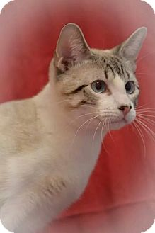 Siamese Cat for adoption in Fort Riley, Kansas - Kingsley