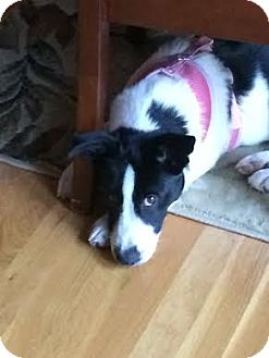 Border Collie Mix Dog for adoption in Windham, New Hampshire - Augie (In New England)