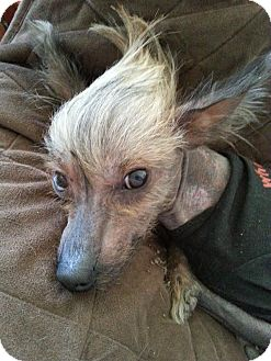 Chinese Crested Dog for adoption in Windham, New Hampshire - Dracula