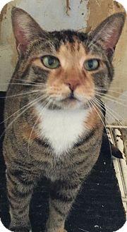 Domestic Shorthair Cat for adoption in Battle Creek, Michigan - Oboe