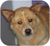 Corgi/Chow Chow Mix Dog for adoption in Murphysboro, Illinois - Maya