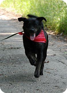 Labrador Retriever/Rottweiler Mix Dog for adoption in Salem, West Virginia - Bear
