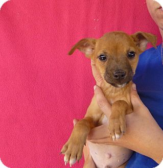 Chihuahua Mix Puppy for adoption in Oviedo, Florida - Onie