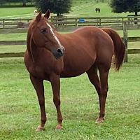 Quarterhorse Mix for adoption in Morriston, Florida - Waylon