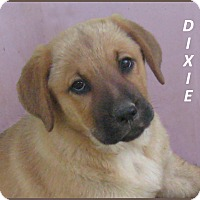 Adopt A Pet :: Dixie - Marlborough, MA