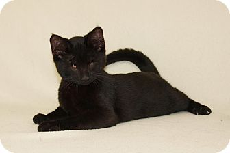 Domestic Shorthair Kitten for adoption in Jackson, Mississippi - Coach
