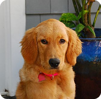 Golden Retriever Puppy for adoption in Torrance, California - Ruby