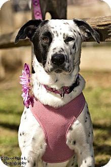Dalmatian/Border Collie Mix Dog for adoption in Allen, Texas - Lauren