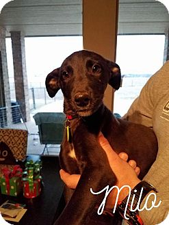 Greyhound/Irish Wolfhound Mix Puppy for adoption in Houston, Texas - A - MILO