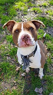 American Staffordshire Terrier Mix Dog for adoption in Rocky Point, North Carolina - Beuyonce