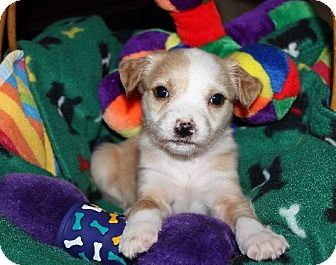 Terrier (Unknown Type, Medium)/Border Collie Mix Puppy for adoption in Alpharetta, Georgia - Kaelyn