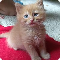 Adopt A Pet :: Copper - Duluth, GA