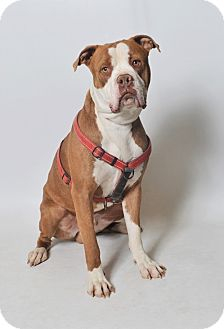 Pit Bull Terrier/American Bulldog Mix Dog for adoption in Fruit Heights, Utah - Max