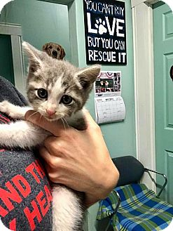 Domestic Shorthair Kitten for adoption in Loogootee, Indiana - Gus