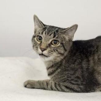 Domestic Shorthair/Domestic Shorthair Mix Cat for adoption in Elk Grove Village, Illinois - Pebbles