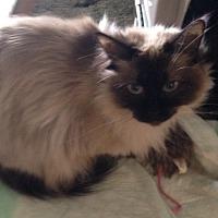 Adopt A Pet :: Zena - Dallas, TX