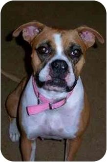 Boxer Dog for adoption in Jacksonville, Florida - Caramel