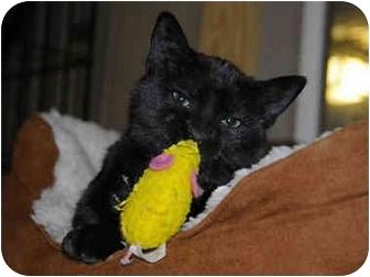 Domestic Shorthair Cat for adoption in Monroe, Georgia - Biddle