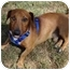 Photo 4 - Dachshund Mix Dog for adoption in Madison, Wisconsin - Timbre