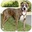 Photo 1 - Boxer Mix Dog for adoption in Marina del Rey, California - Cinder
