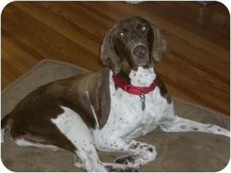 German Shorthaired Pointer Dog for adoption in Bellingham, Washington - Mirage